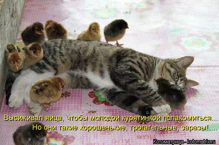 Котоматрица: Высиживал яйца, чтобы молодой курятинкой полакомиться... Но они такие хорошенькие, трогательные, заразы!....