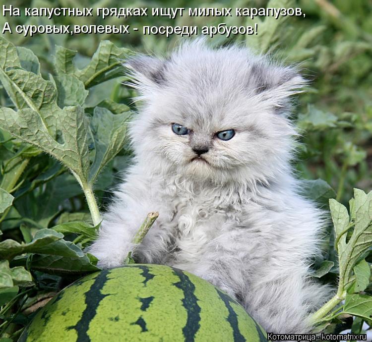 Котоматрица: На капустных грядках ищут милых карапузов, А суровых,волевых - посреди арбузов!