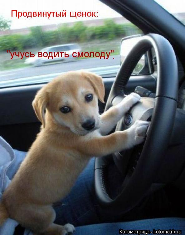 """Котоматрица: Продвинутый щенок: """"учусь водить смолоду"""" ."""