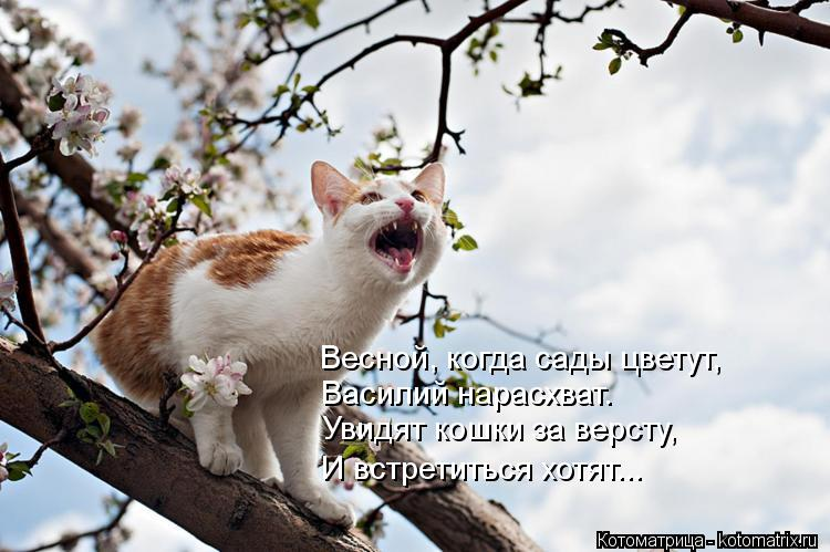 Котоматрица: Весной, когда сады цветут, Василий нарасхват.  Увидят кошки за версту, И встретиться хотят...
