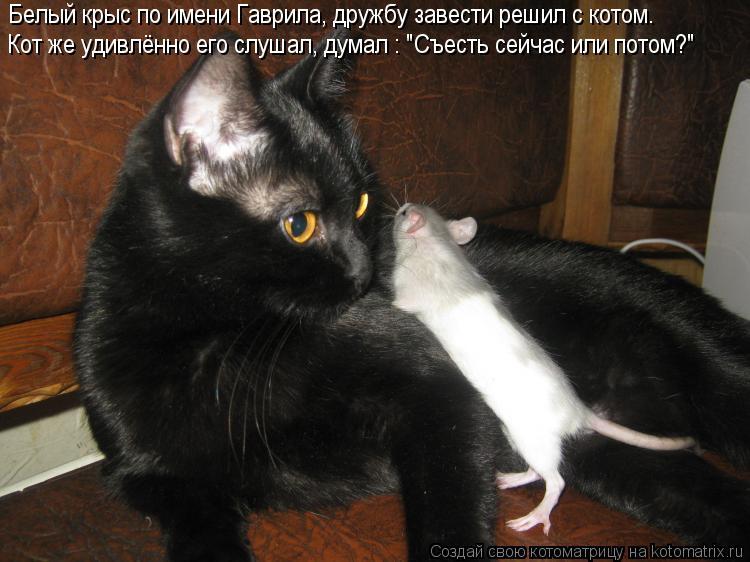 """Котоматрица: Белый крыс по имени Гаврила, дружбу завести решил с котом. Кот же удивлённо его слушал, думал : """"Съесть сейчас или потом?"""""""