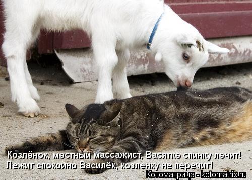 Котоматрица: Козлёнок, местный массажист, Васятке спинку лечит! Лежит спокойно Василёк, козленку не перечит!