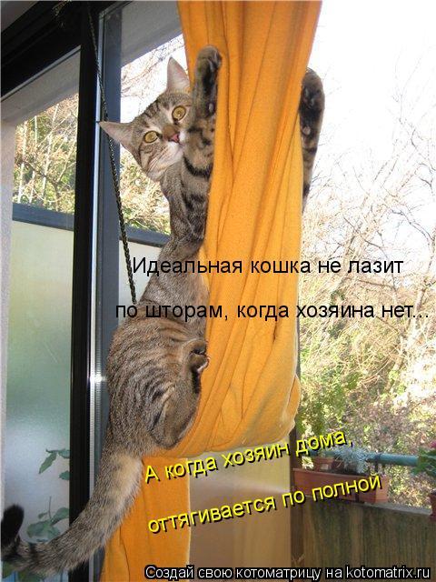 Котоматрица: Идеальная кошка не лазит  по шторам, когда хозяина нет... А когда хозяин дома, оттягивается по полной