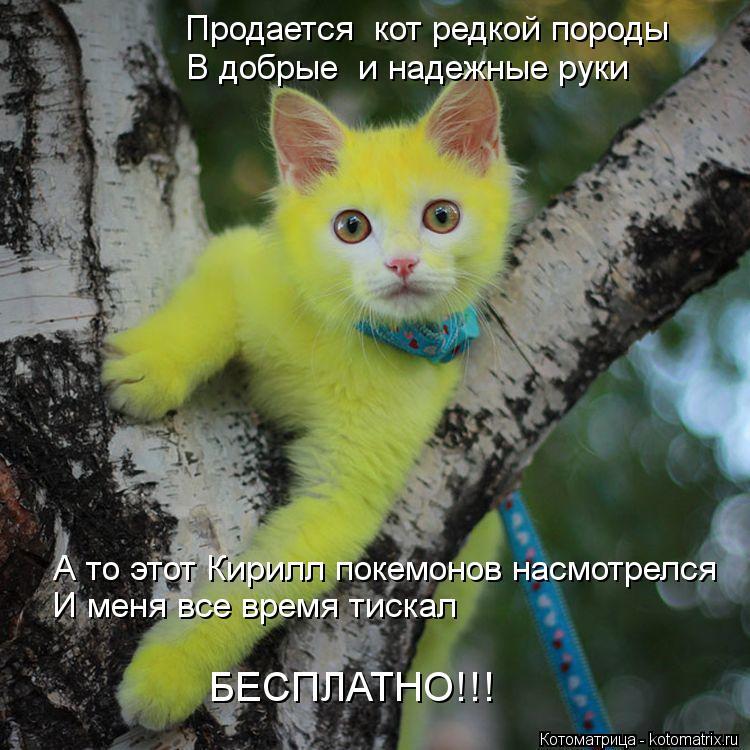 Котоматрица: Продается  кот редкой породы В добрые  и надежные руки А то этот Кирилл покемонов насмотрелся И меня все время тискал БЕСПЛАТНО!!!