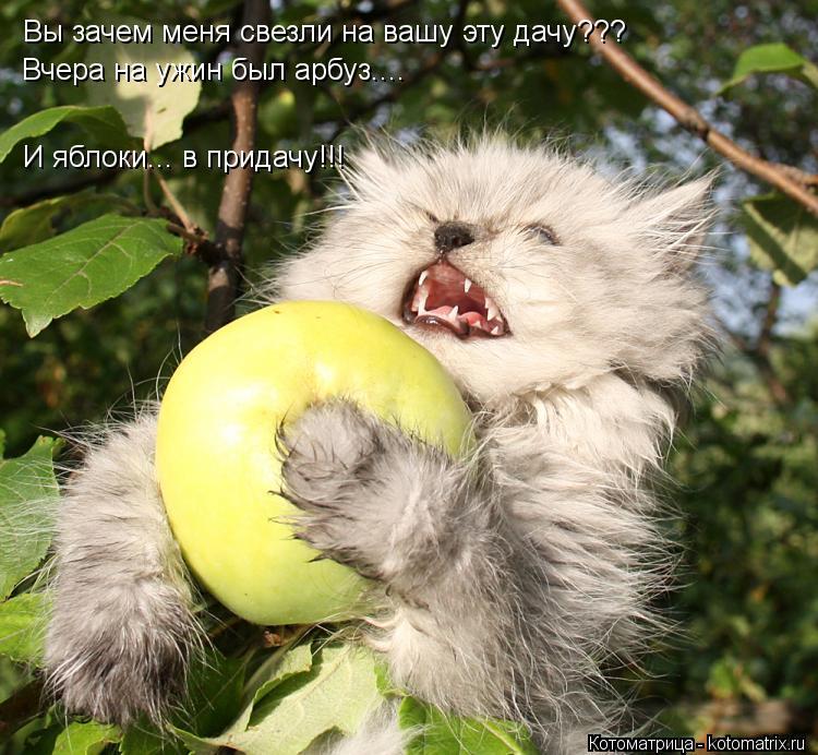 Котоматрица: Вы зачем меня свезли на вашу эту дачу??? Вчера на ужин был арбуз.... И яблоки... в придачу!!!