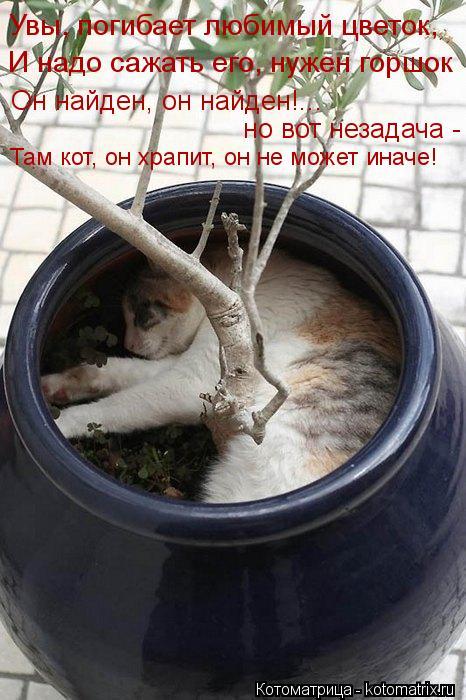 Котоматрица: Увы, погибает любимый цветок, И надо сажать его, нужен горшок Он найден, он найден!... но вот незадача - Там кот, он храпит, он не может иначе!