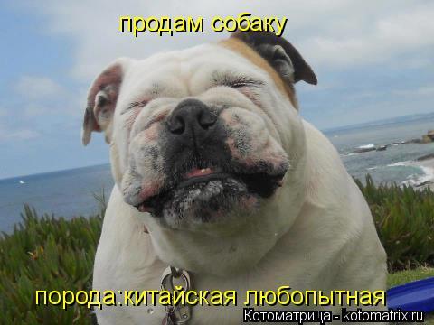 Котоматрица: продам собаку порода:китайская любопытная