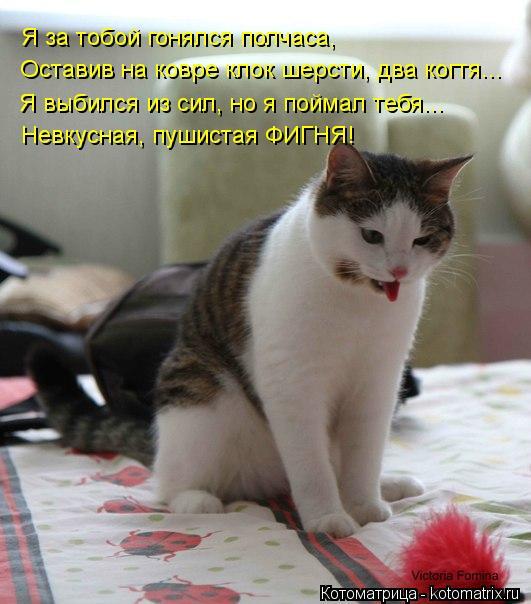 Котоматрица: Я за тобой гонялся полчаса, Оставив на ковре клок шерсти, два когтя... Я выбился из сил, но я поймал тебя... Невкусная, пушистая ФИГНЯ!