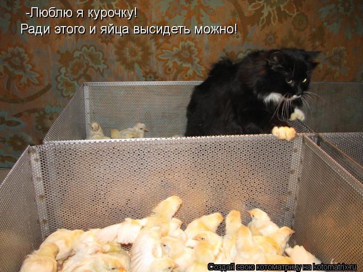 Котоматрица: -Люблю я курочку! Ради этого и яйца высидеть можно!