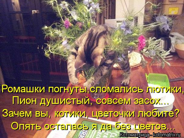Котоматрица: Ромашки погнуты,сломались лютики, Пион душистый, совсем засох... Зачем вы, котики, цветочки любите? Опять осталась я да без цветов...