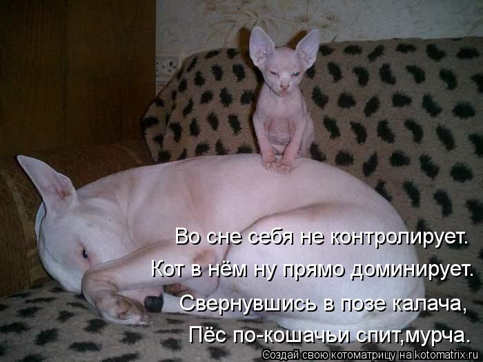 Котоматрица: Во сне себя не контролирует. Кот в нём ну прямо доминирует. Свернувшись в позе калача, Пёс по-кошачьи спит,мурча.