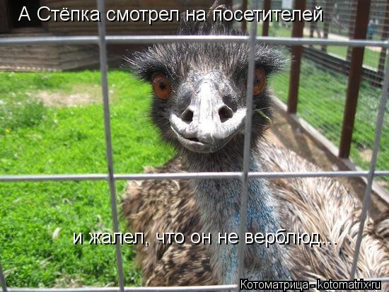 Котоматрица: А Стёпка смотрел на посетителей и жалел, что он не верблюд...