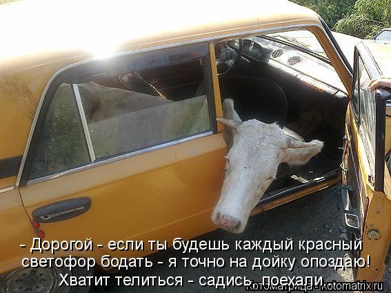 Котоматрица: - Дорогой - если ты будешь каждый красный светофор бодать - я точно на дойку опоздаю! Хватит телиться - садись, поехали...