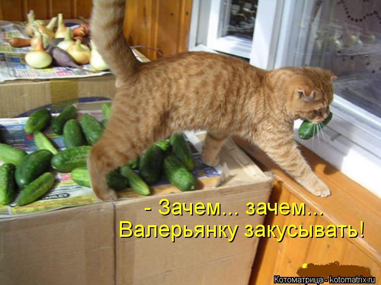 Котоматрица: - Зачем... зачем... Валерьянку закусывать!