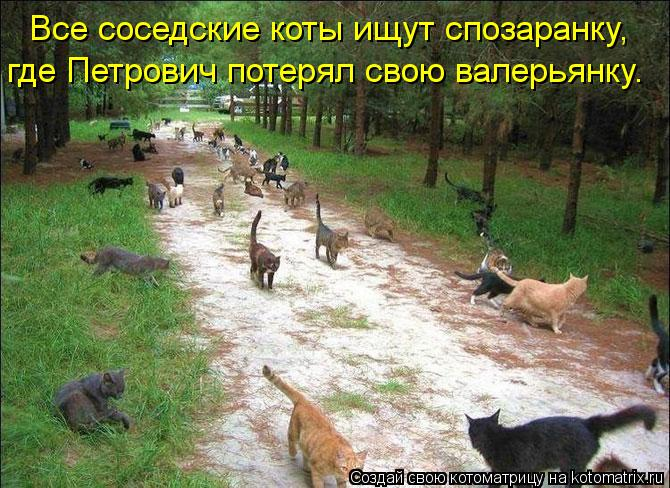 Котоматрица: Все соседские коты ищут спозаранку,  где Петрович потерял свою валерьянку.