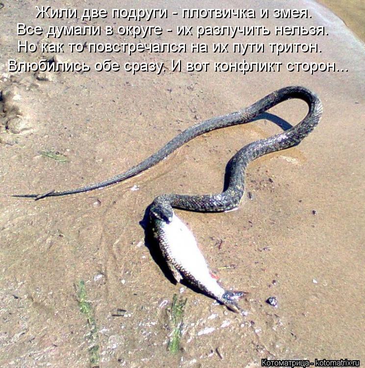 Котоматрица: Жили две подруги - плотвичка и змея. Все думали в округе - их разлучить нельзя. Но как то повстречался на их пути тритон.  Влюбились обе сразу.