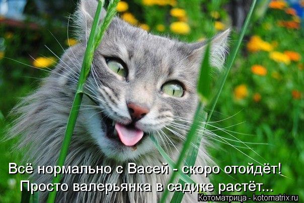 Котоматрица: Всё нормально с Васей - скоро отойдёт! Просто валерьянка в садике растёт...