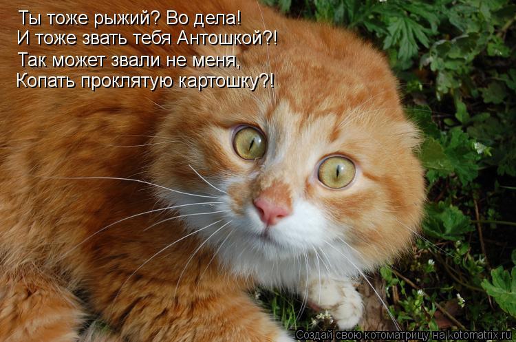 Котоматрица: Ты тоже рыжий? Во дела! И тоже звать тебя Антошкой?! Так может звали не меня, Копать проклятую картошку?!