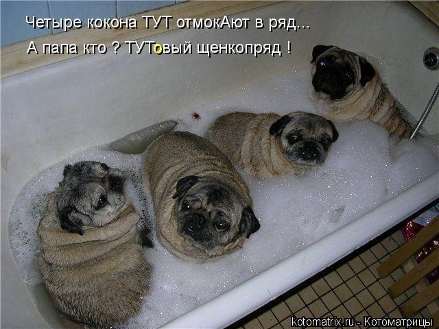 Котоматрица: Четыре кокона ТУТ отмокАют в ряд... А папа кто ? ТУТовый щенкопряд ! о