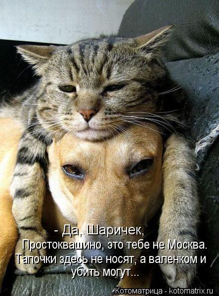 Котоматрица: - Да, Шаричек,  Простоквашино, это тебе не Москва. Тапочки здесь не носят, а валенком и убить могут...