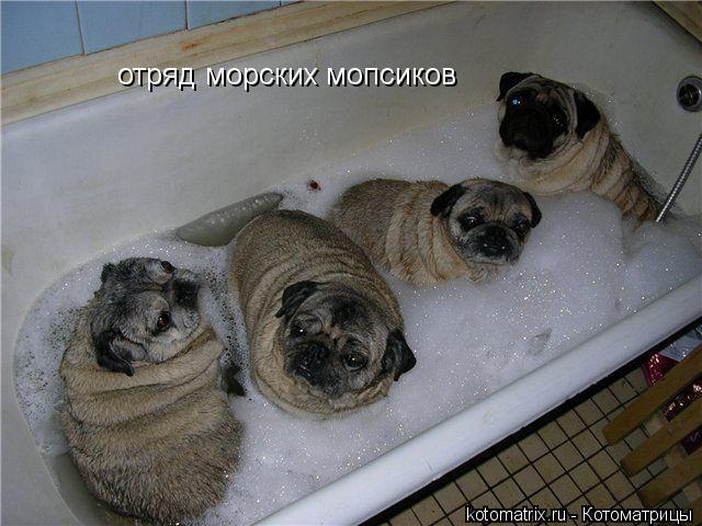 Котоматрица: отряд морских мопсиков
