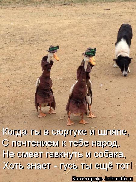 Котоматрица: Когда ты в сюртуке и шляпе, С почтением к тебе народ. Не смеет гавкнуть и собака, Хоть знает - гусь ты ещё тот!