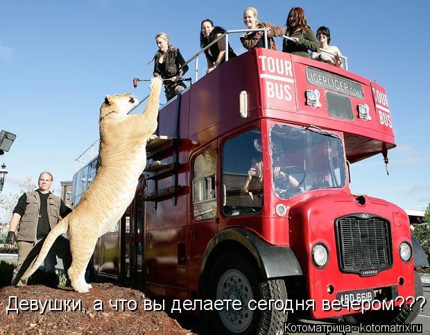 Зооистории: Самый большой представитель кошачьих Порождение самца-льва и ти
