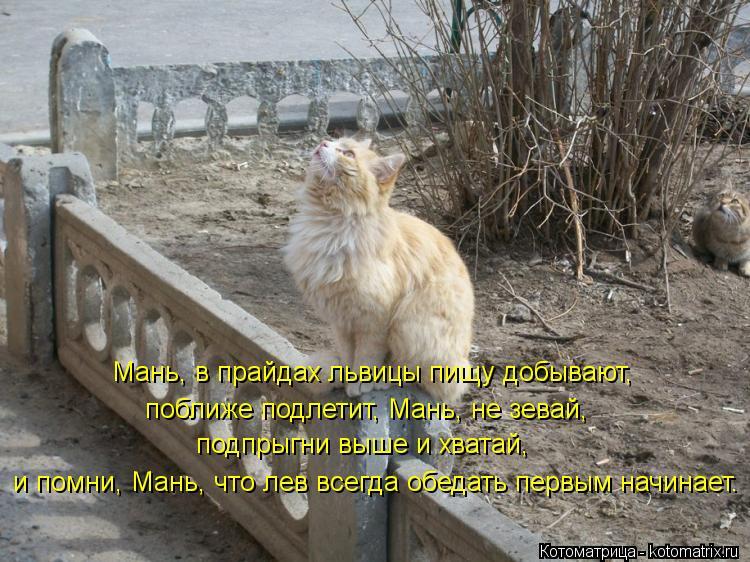 Котоматрица: Мань, в прайдах львицы пищу добывают, и помни, Мань, что лев всегда обедать первым начинает. поближе подлетит, Мань, не зевай, подпрыгни выше