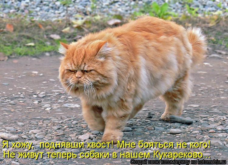 Котоматрица: Я хожу,  поднявши хвост! Мне бояться не кого! Не живут теперь собаки в нашем Кукареково...