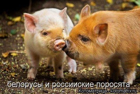Котоматрица: белорусы и россииские поросята