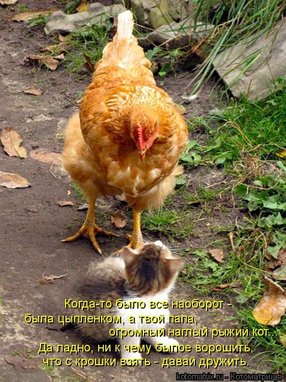 Котоматрица: Когда-то было все наоборот -  была цыпленком, а твой папа,  Да ладно, ни к чему былое ворошить, огромный наглый рыжий кот... что с крошки взять -