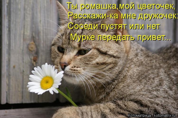 Котоматрица: Ты ромашка,мой цветочек, Расскажи-ка мне дружочек: Соседи пустят или нет Мурке передать привет...