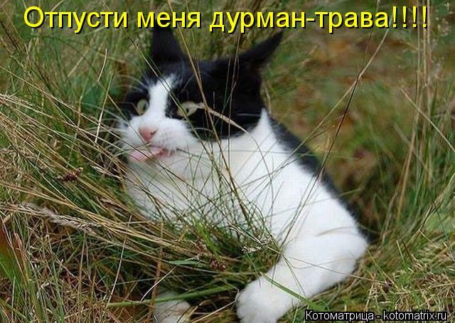 трава дурман картинки