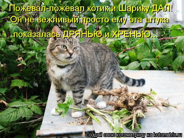 Котоматрица: Пожевал-пожевал котик,и Шарику ДАЛ! Он не вежливый,просто ему эта штука  показалась ДРЯНЬЮ и ХРЕНЬЮ...