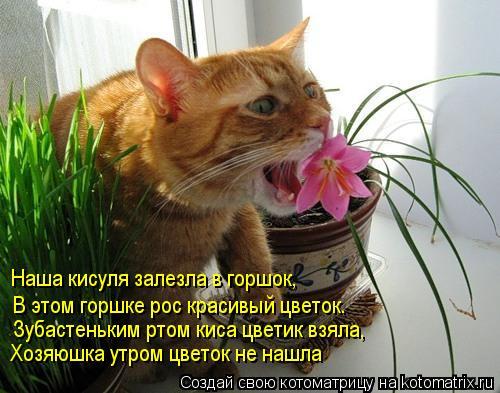 Котоматрица: Наша кисуля залезла в горшок, В этом горшке рос красивый цветок. Зубастеньким ртом киса цветик взяла, Хозяюшка утром цветок не нашла