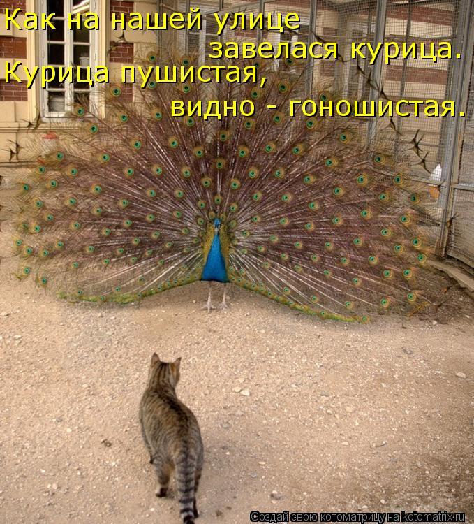 Котоматрица: Как на нашей улице  завелася курица. Курица пушистая, видно - гоношистая.