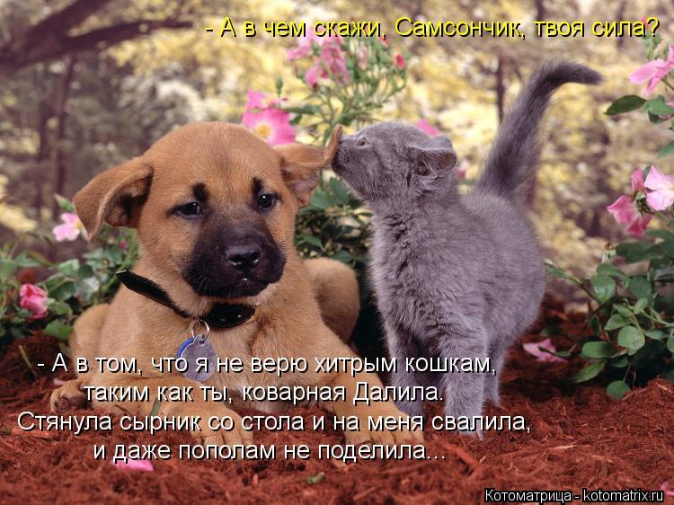 Котоматрица: - А в чем скажи, Самсончик, твоя сила? - А в том, что я не верю хитрым кошкам, таким как ты, коварная Далила. Стянула сырник со стола и на меня сва