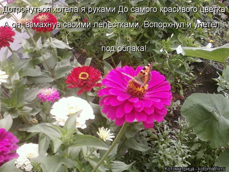 Котоматрица: Дотронуться хотела я руками До самого красивого цветка А он, взмахнув своими лепестками, Вспорхнул и улетел   под облака!