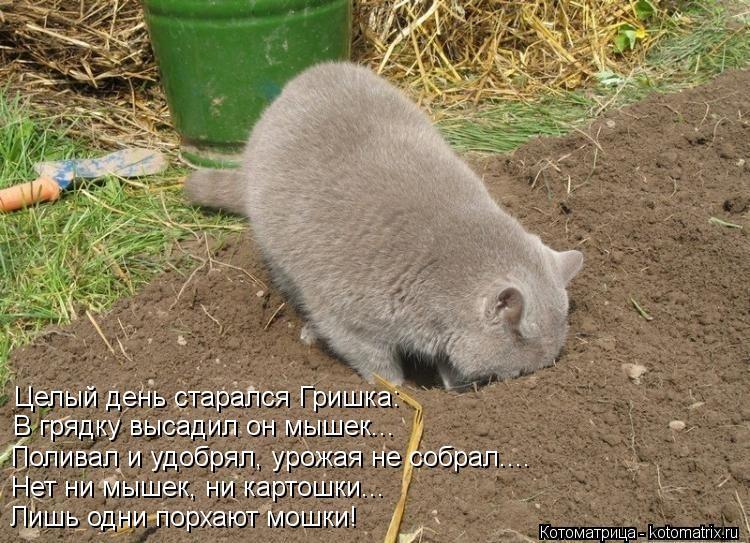 Котоматрица: Целый день старался Гришка: В грядку высадил он мышек... Поливал и удобрял, урожая не собрал.... Нет ни мышек, ни картошки... Лишь одни порхают м