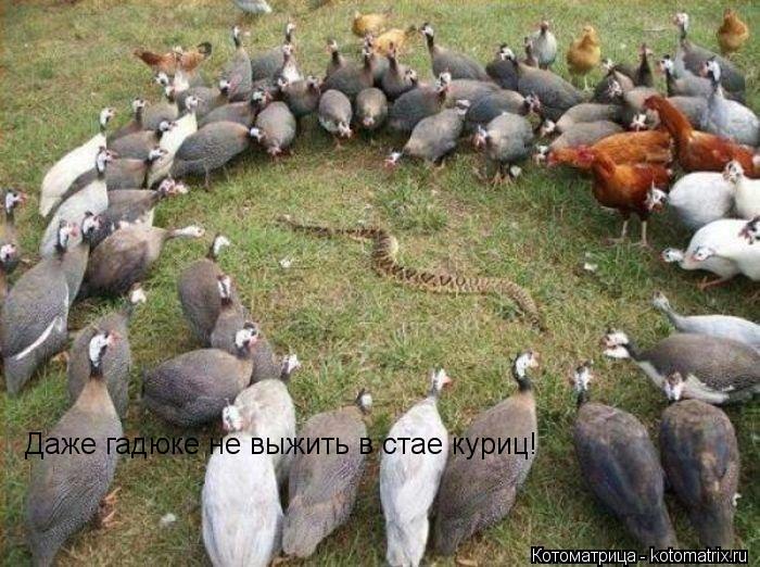 Котоматрица: Даже гадюке не выжить в стае куриц!