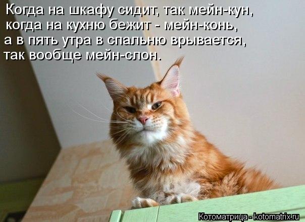 Котоматрица: Когда на шкафу сидит, так мейн-кун, когда на кухню бежит - мейн-конь, а в пять утра в спальню врывается, так вообще мейн-слон.