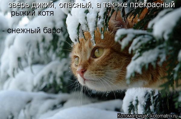 Котоматрица: зверь дикий, опасный, а так-же прекрасный рыжий котя  - снежный барс!