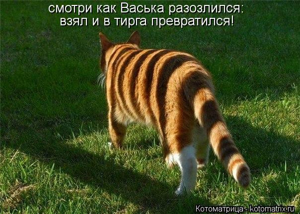 Котоматрица: cvjnhb смотри как Васька разозлился: взял и в тирга превратился!