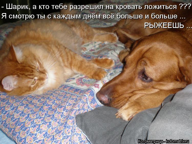 Котоматрица: - Шарик, а кто тебе разрешил на кровать ложиться ??? Я смотрю ты с каждым днём всё больше и больше ... РЫЖЕЕШЬ ...