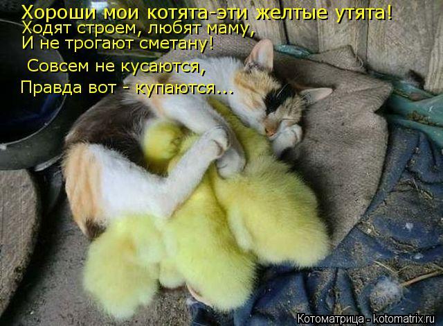 Котоматрица: Хороши мои котята-эти желтые утята! Ходят строем, любят маму, И не трогают сметану! Совсем не кусаются, Правда вот - купаются...