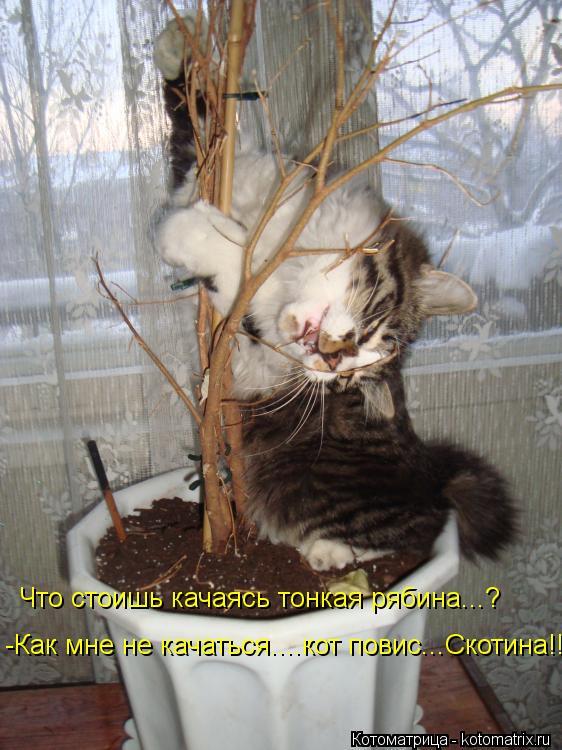 Котоматрица: Что стоишь качаясь тонкая рябина...? -Как мне не качаться....кот повис...Скотина!!!