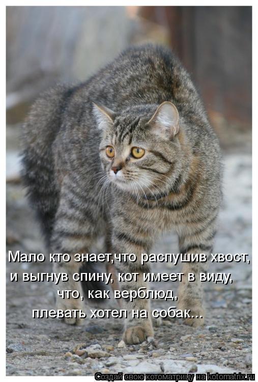 Котоматрица: Мало кто знает,что распушив хвост, и выгнув спину, кот имеет в виду, что, как верблюд, плевать хотел на собак...