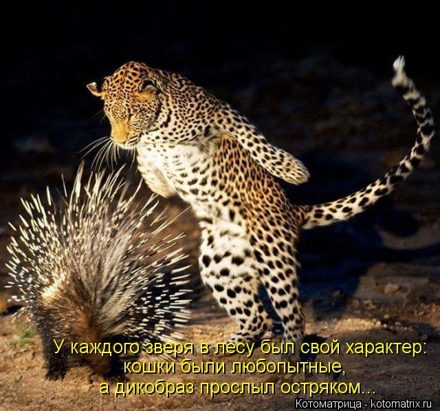 Котоматрица: а дикобраз прослыл остряком... У каждого зверя в лесу был свой характер: кошки были любопытные,