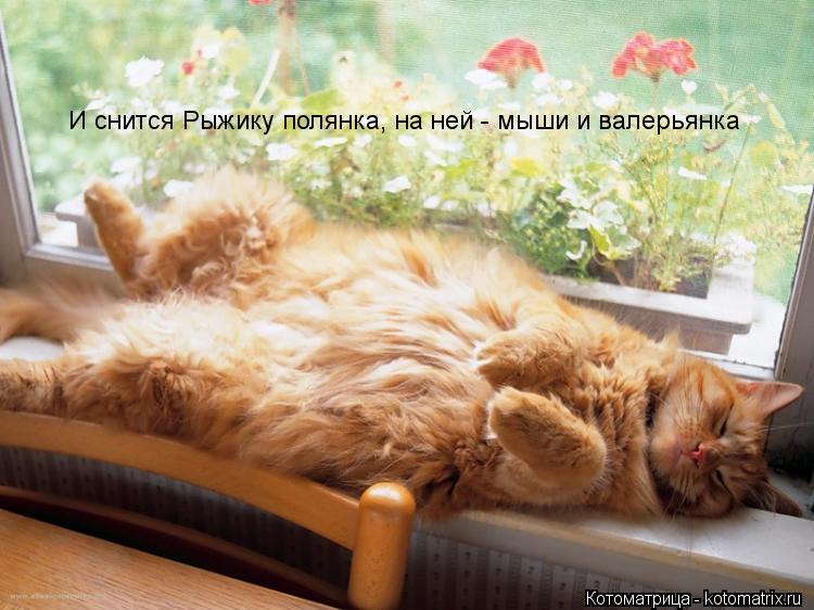 Котоматрица: И снится Рыжику полянка, на ней - мыши и валерьянка