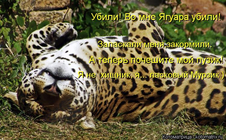 Котоматрица: Убили! Во мне Ягуара убили! Заласкали меня,закормили. А теперь почешите мой пузик! Я не  хищник, я... ласковый Мурзик )